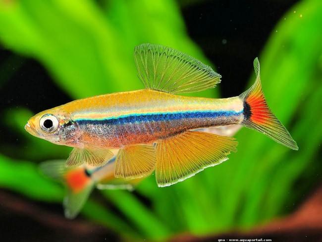Яркие рыбки петушки - настоящее украшение аквариума.