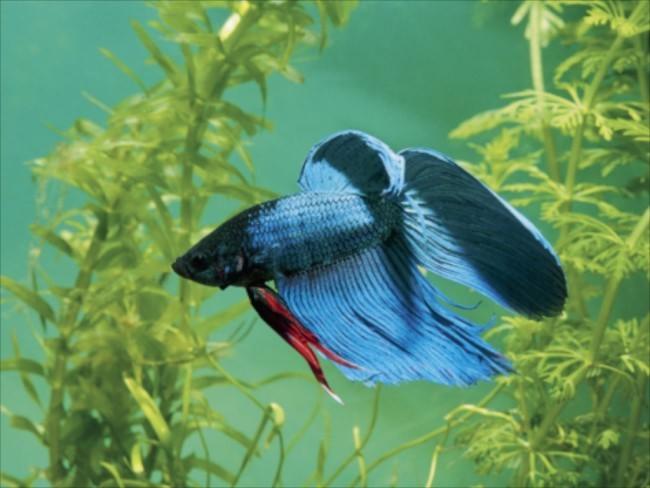 Красочная рыбка - петушок.