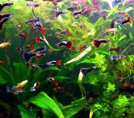 гуппи-в-аквариуме