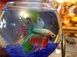 петушок в круглом аквариуме