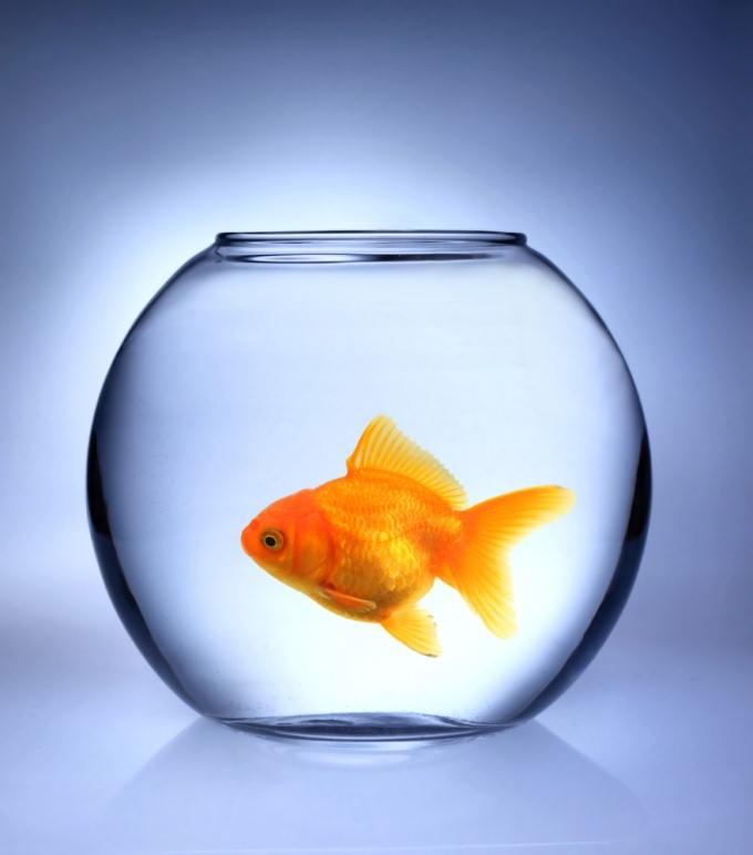 уход за зоотыми рыбками