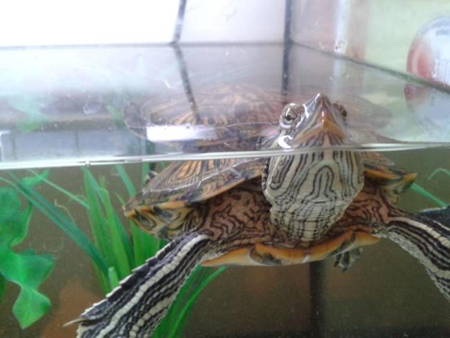 Красноухая черепаха в аквариуме.