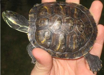 декоративная красноухая черепаха размеры