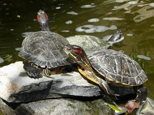 размер аквариума для красноухой черепахи