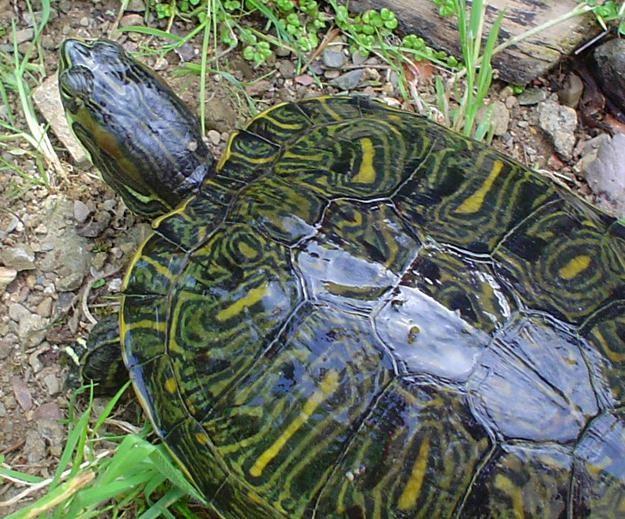 каких размеров достигает красноухая черепаха