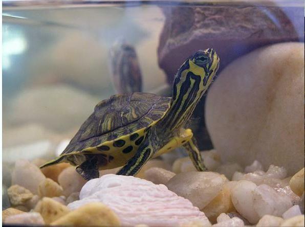 красноухая черепаха размеры аквариума