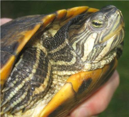 максимальный размер красноухой черепахи