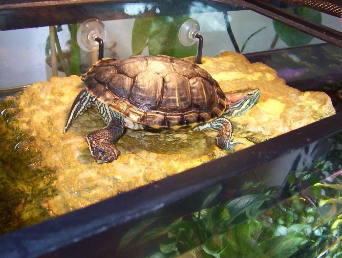 содержание красноухих черепах