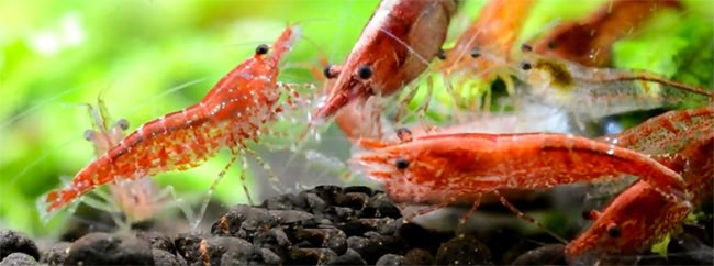 Red Cherry Shrimp.