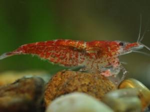 вишневая креветка