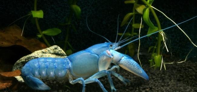 Рак синий флоридский.