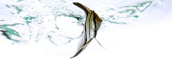 скалярия в воде на белом фоне