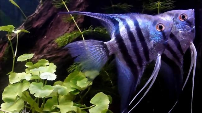 Пара blue zebra angelfish.