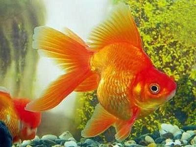 золотые рыбки разведение