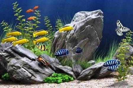 видовой аквариум цихлидник