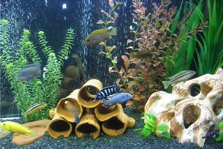 удивительным вид аквариума цихлидник