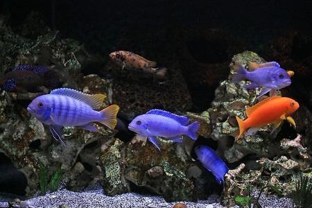 красивые рыбки цихлиды