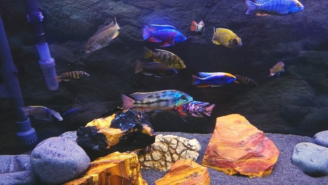Mixed african cichlids aquarium.