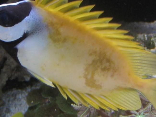 Лечение рыбок в аквариуме солью.