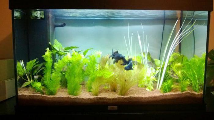 телескоп аквариумная рыбка совместимость