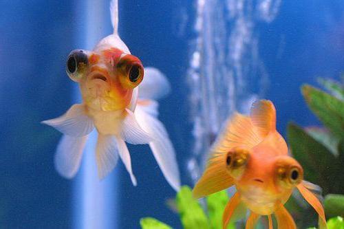 как называется аквариумная рыбка телескоп