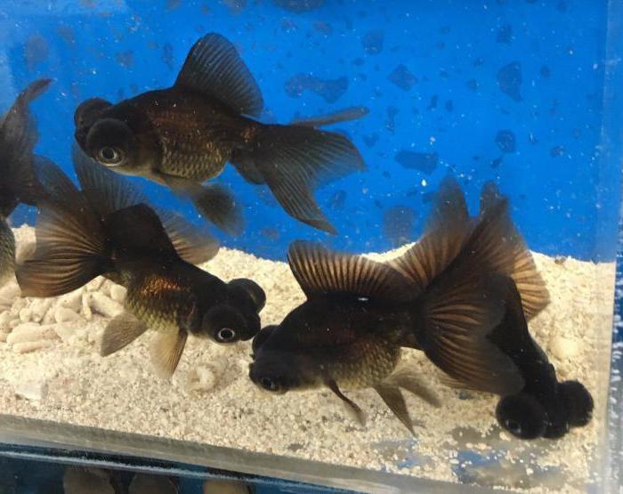 аквариумные рыбки телескопы уход