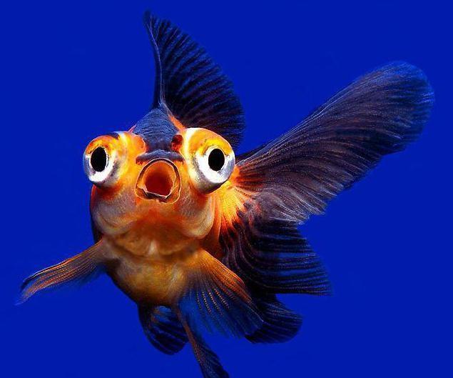 телескоп аквариумная рыбка