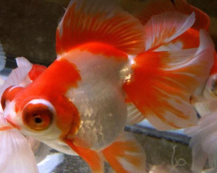 аквариумная рыбка телескоп фото