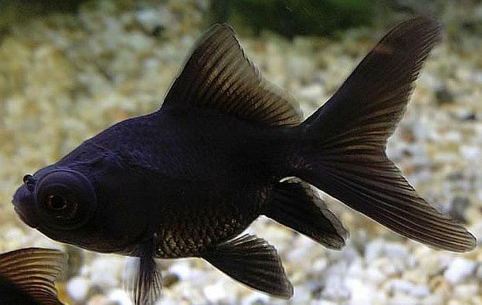 аквариумная рыбка телескоп черный