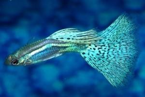 рыбки гуппи как ухаживать