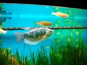 гурами мраморный в аквариуме
