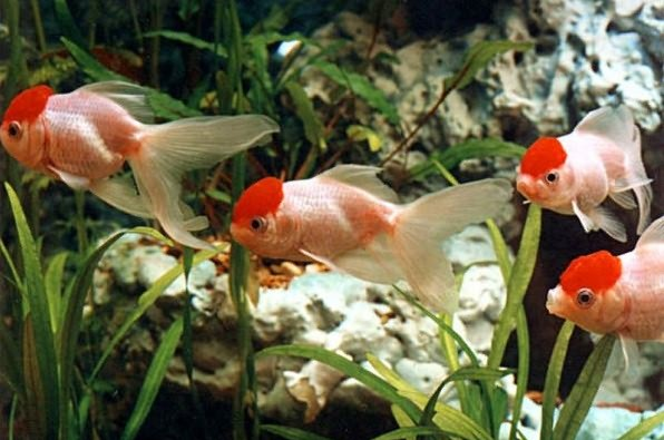Особенности рыбки