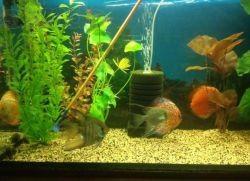 Уход за аквариумными рыбками скаляриями