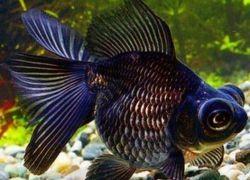 Рыбка телескоп1