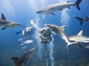 акула аквариумная
