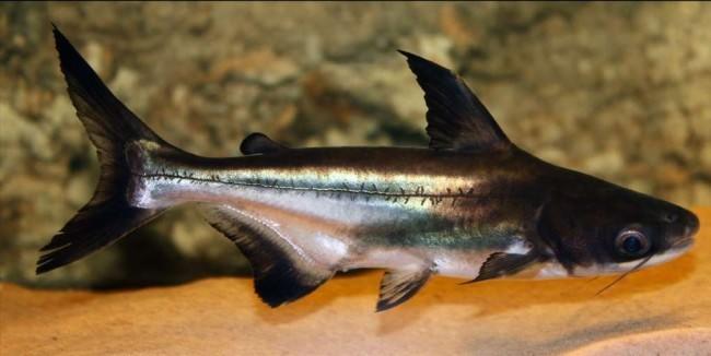 Аквариумный акулий сом.