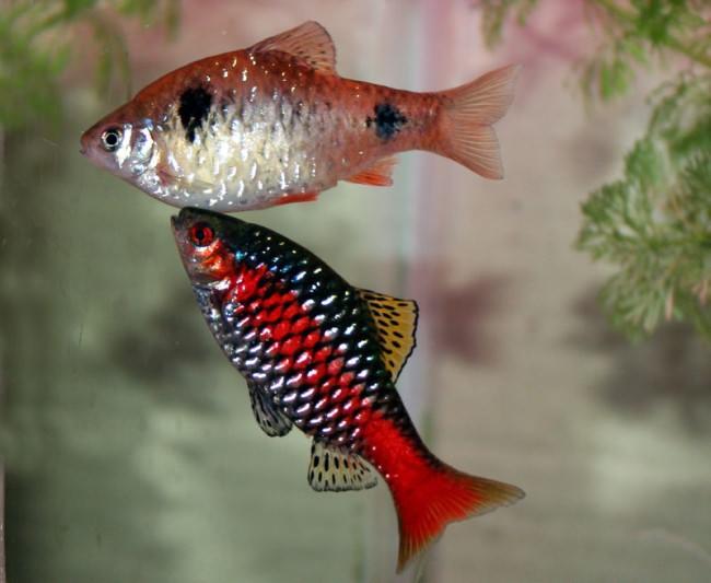 Совместимость барбусов с другими рыбками.