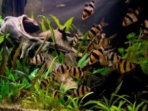 Барбус суматранский размножение