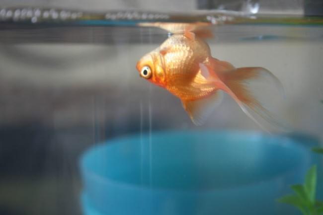 pochemu-dohnut-rybki-v-akvariume_4
