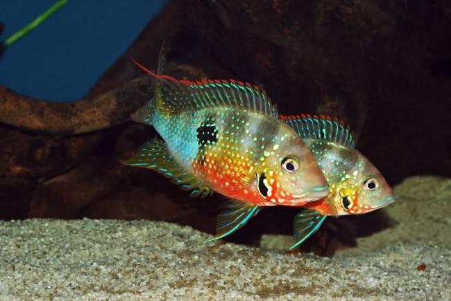 Пара цихлазом элиота плавает в аквариуме.