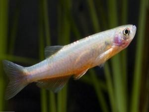 Данио розовый содержание и размножение