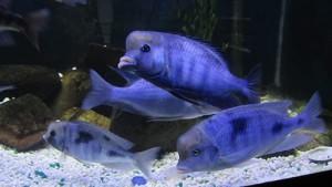 голубой дельфин в аквариуме