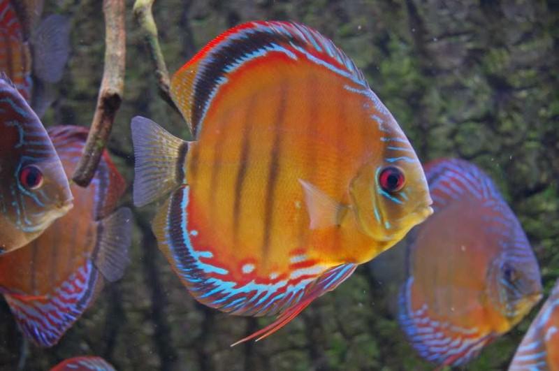 Голубой дискус Symphysodon haraldi