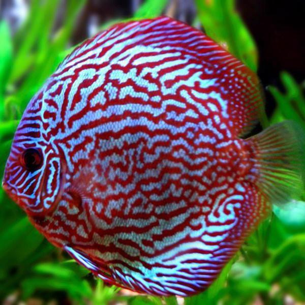 дискус рыба