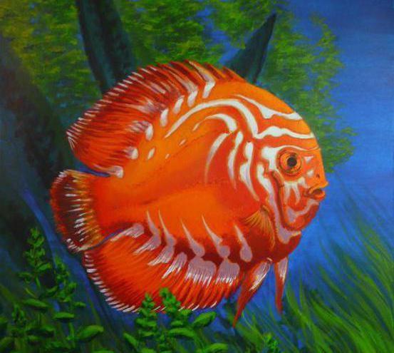 дискус рыба фото
