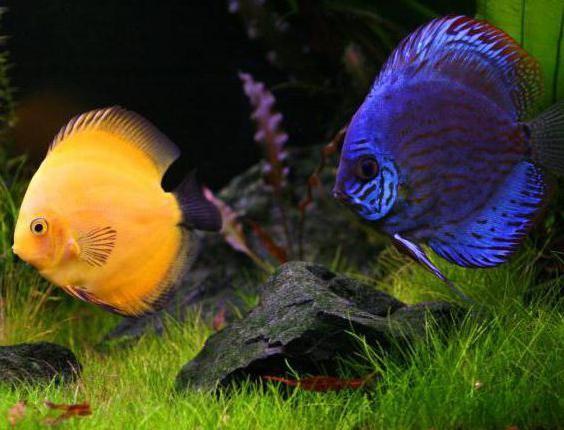дискус рыба описание