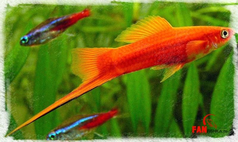 багряные рыбки