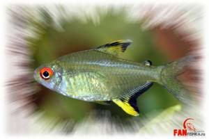 тетры рыбки