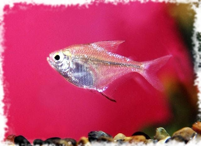неприхотливая рыбка
