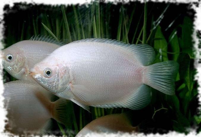 маленькая акваруимная рыбка